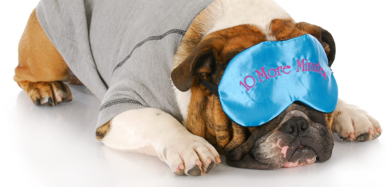 Bulldog with sleep mask on.